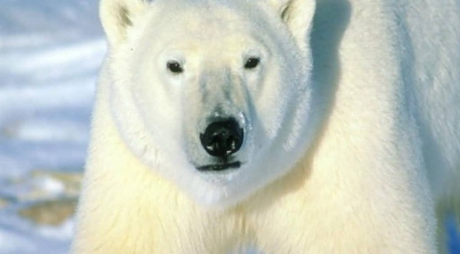 Is Our Canary In The Coal Mine A Polar Bear?
