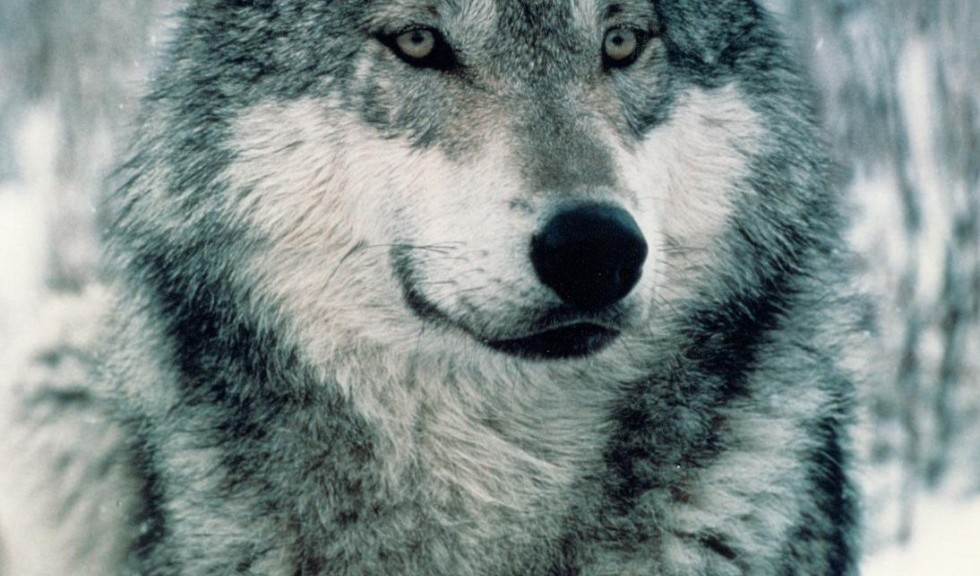 Close-up-wolves-30822124-1094-1406