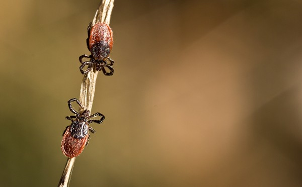 Stanford study says ticks may cause double trouble