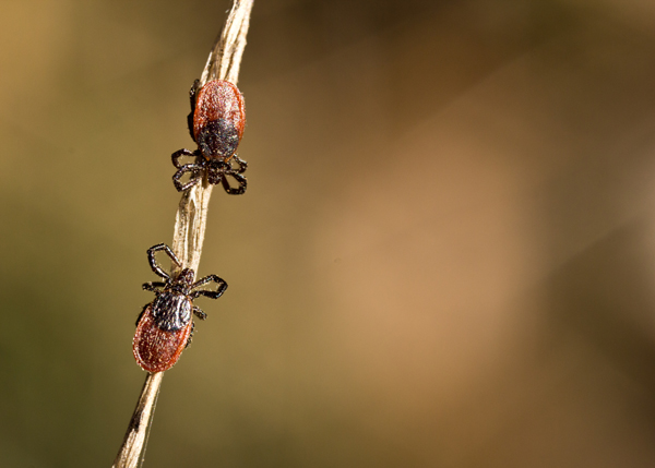 Researchers found ticks infected with the bacterium that causes Lyme disease and a newly identified human pathogen in nearly every Bay Area park they examined.
