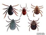 tick born pathogens-7