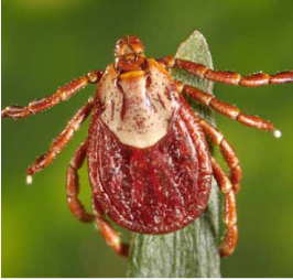 Photograph of a tick