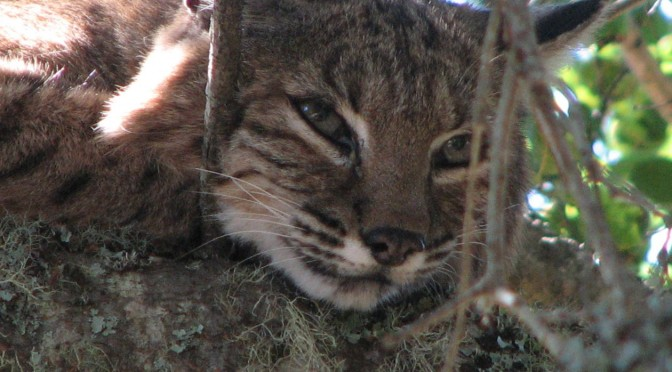 End Bobcat Trapping In California