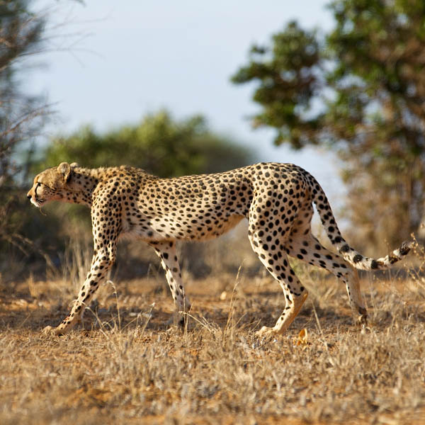 Cheetah_Flickr_JonNewman_600