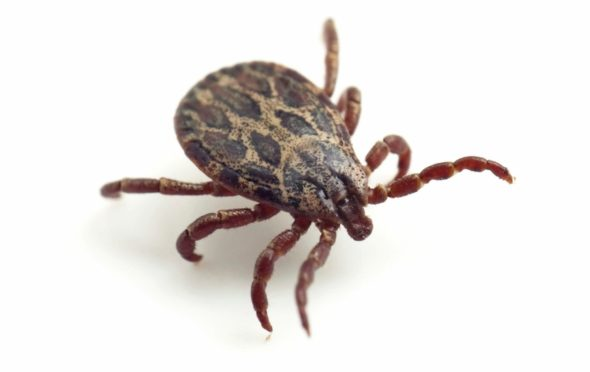 A deer tick. Photo by U.S. Department of Agriculture